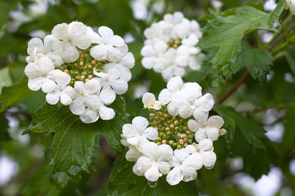 Ricanti sempreverdi con fiori piante sempreverdi da for Piante sempreverdi con fiori