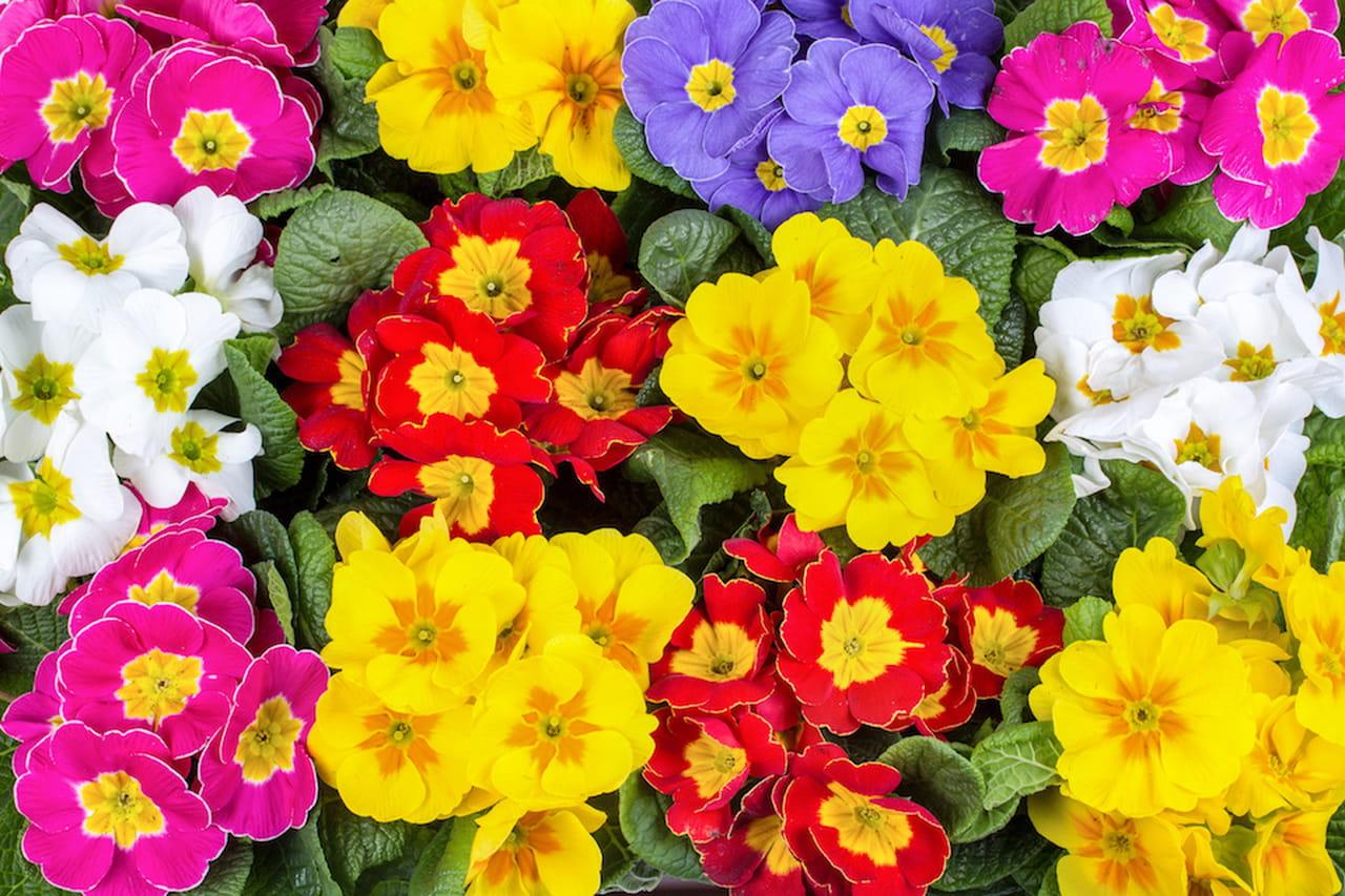 Fiori primaverili a tutto colore e profumo for Fiori primaverili da giardino