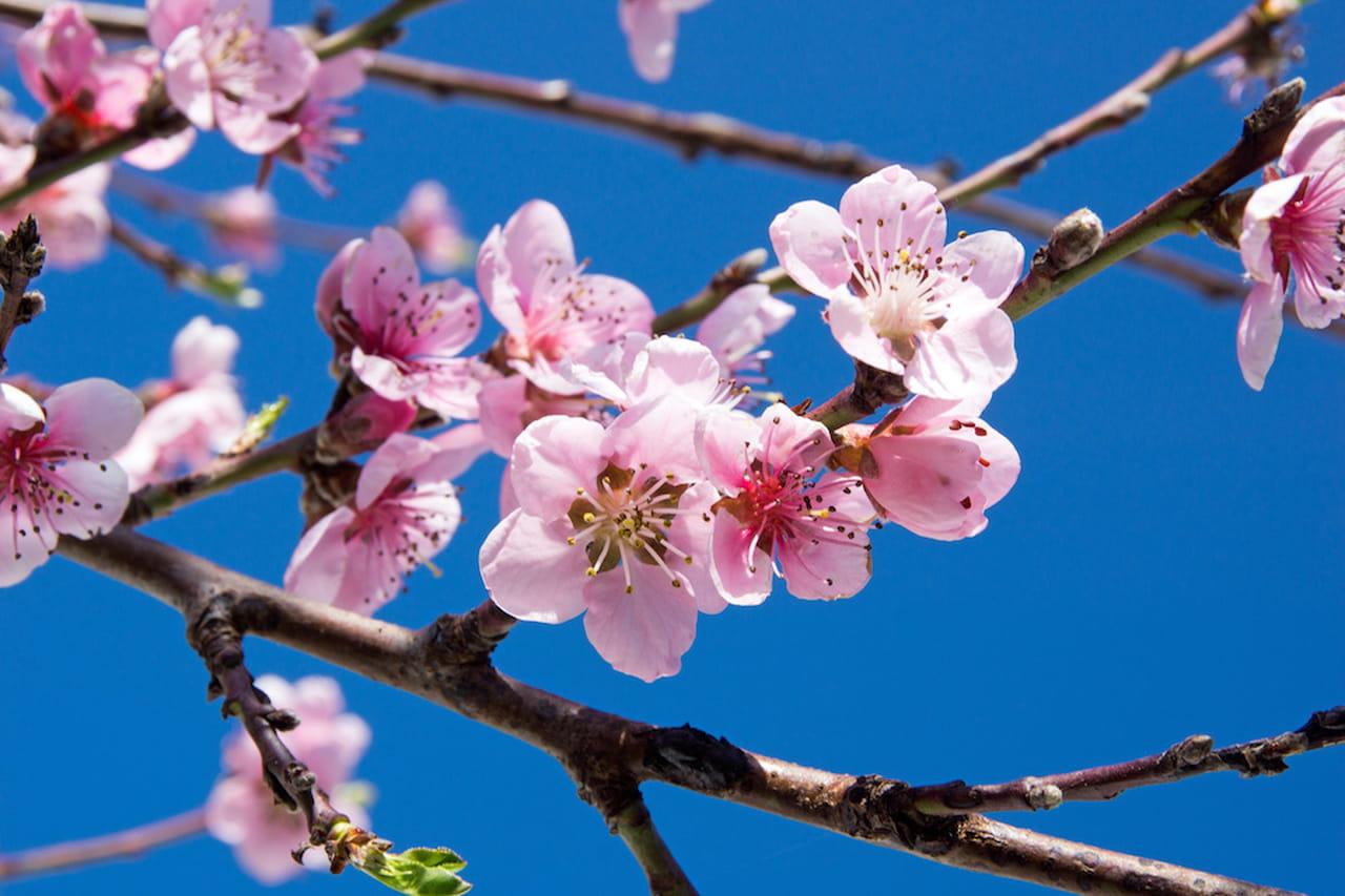 Fiori di ciliegio la metafora della vita che protegge la casa for Pianta di ciliegio