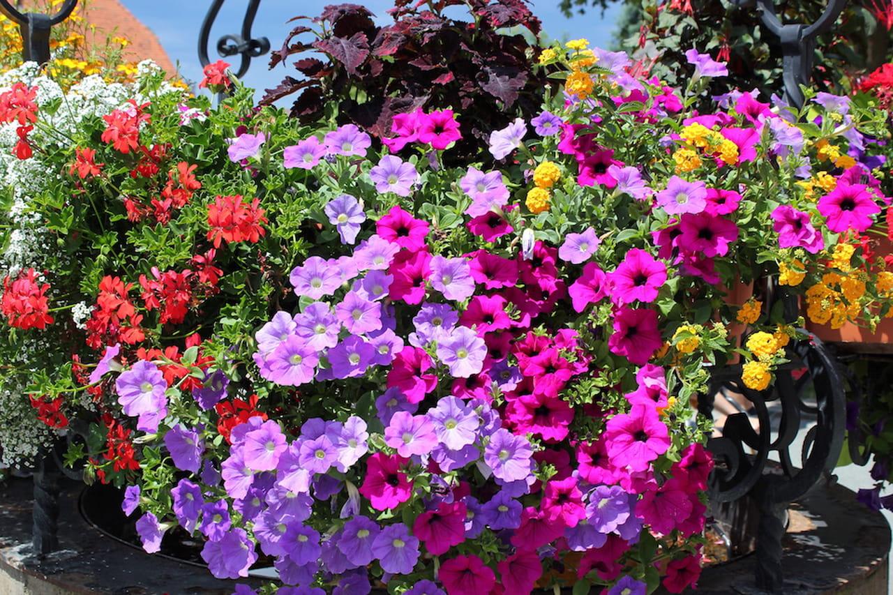 Fiori da balcone per tutti i gusti ed esposizioni - Fiori da giardino estivi ...