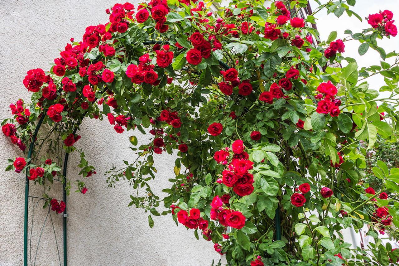 Piante rampicanti facciate pergolati e appartamenti fioriti for Rose piante