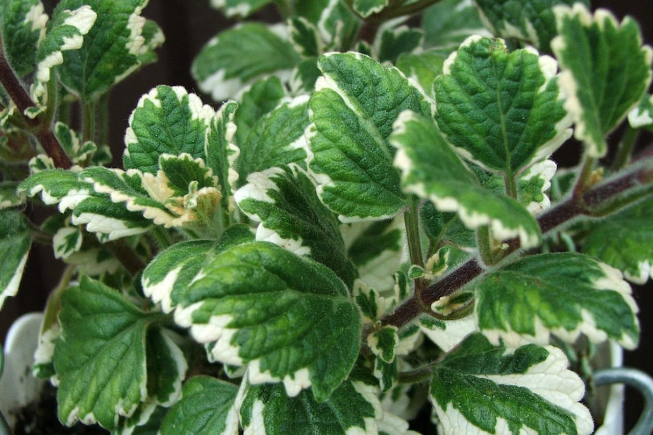 Piante antizanzare quali sono - Contro le zanzare in giardino ...