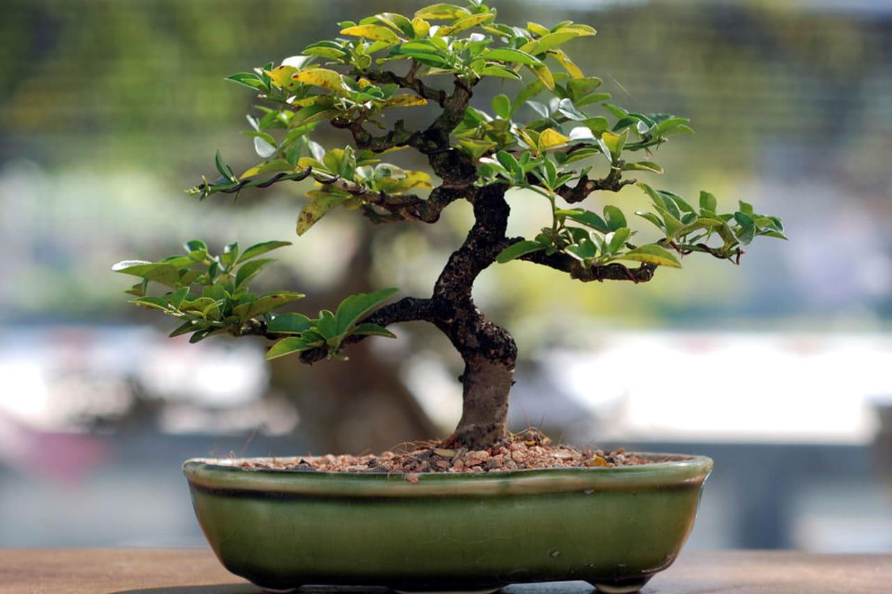 Bonsai crescita e consigli for Bonsai da frutto vendita