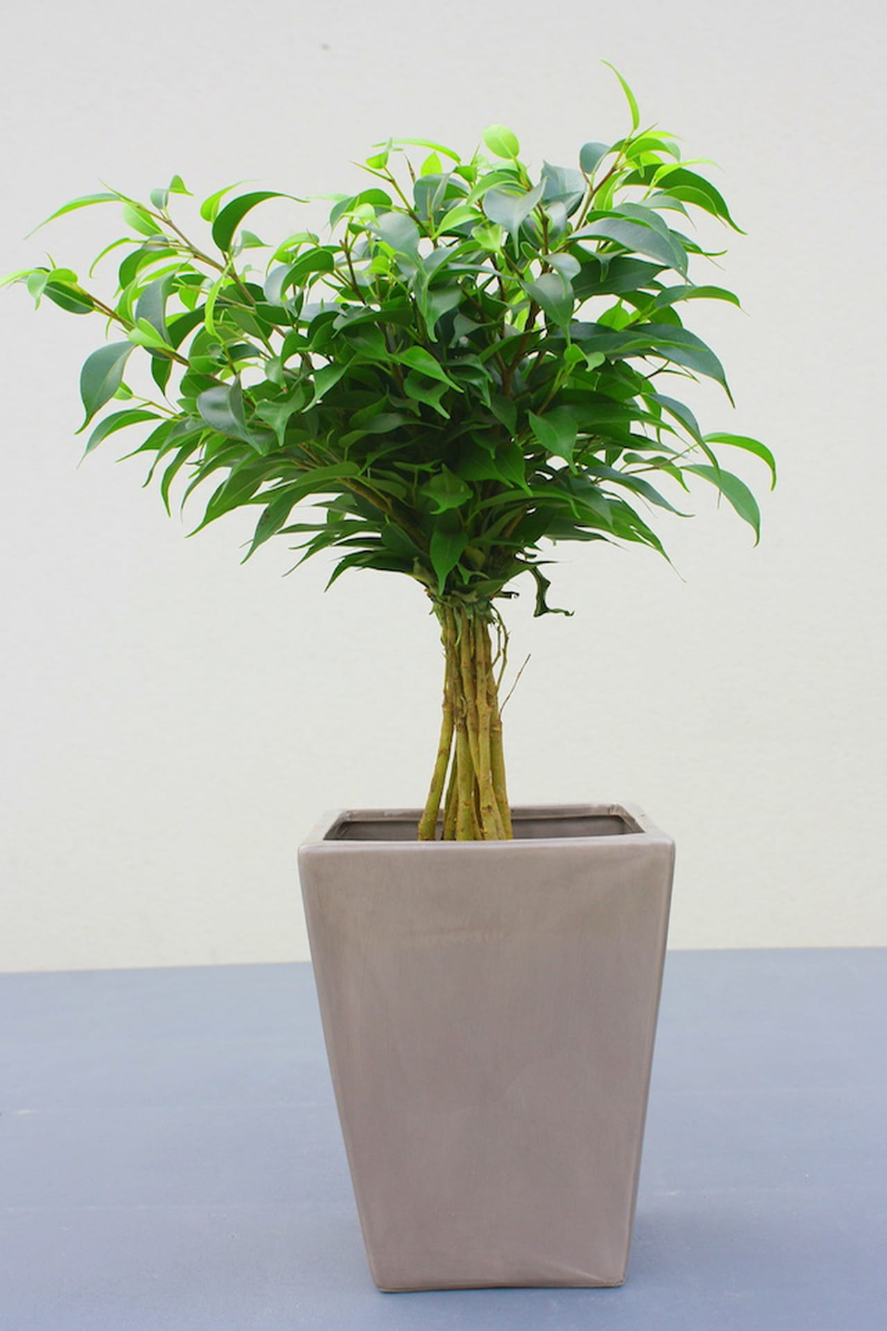 Ficus Benjamina: Pianta (o Albero) Da Appartamento