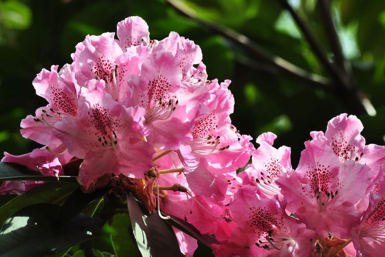 Rododendro pianta fiore e cura for Rododendro pianta