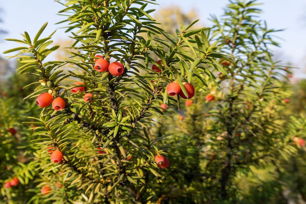 Alberi sempreverdi quali sono - Sempreverde da giardino ...
