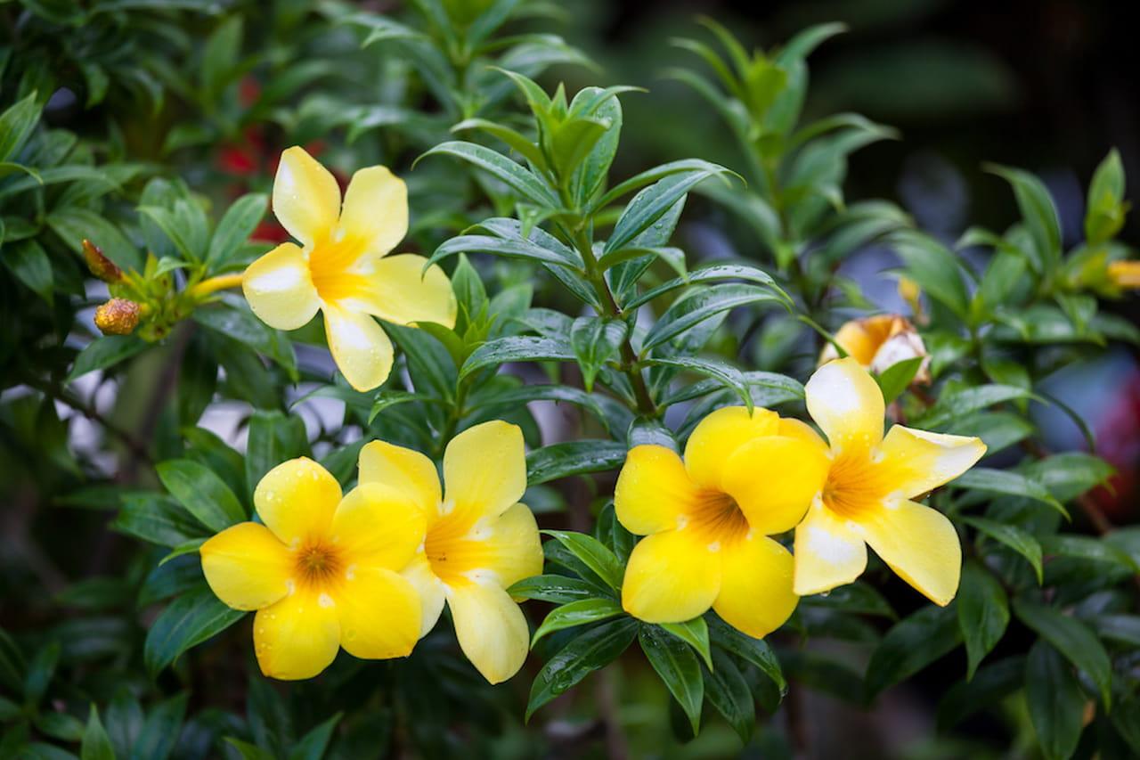 piante rampicanti: facciate, pergolati e appartamenti fioriti - Piante Da Giardino Rampicanti