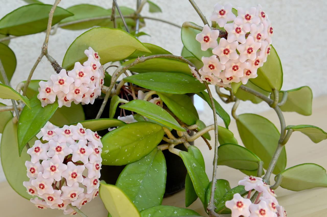 Piante da interno profumate resistenti e belle for Piante profumate da giardino