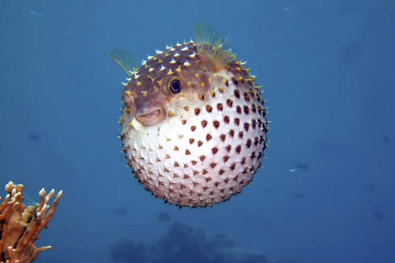 Pesce palla co i cibi proibiti di expo 2015 for Disegno pesce palla