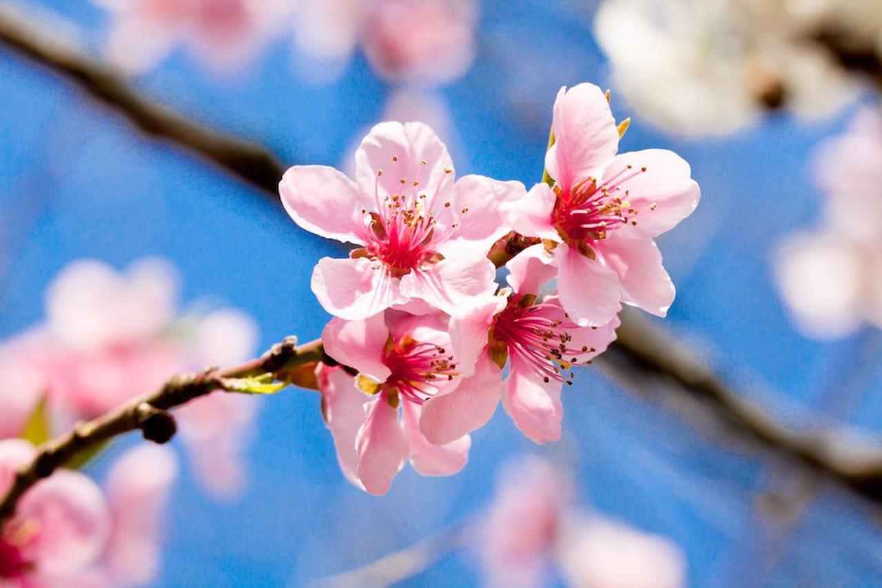 fiori di ciliegio il significato dei fiori sakura