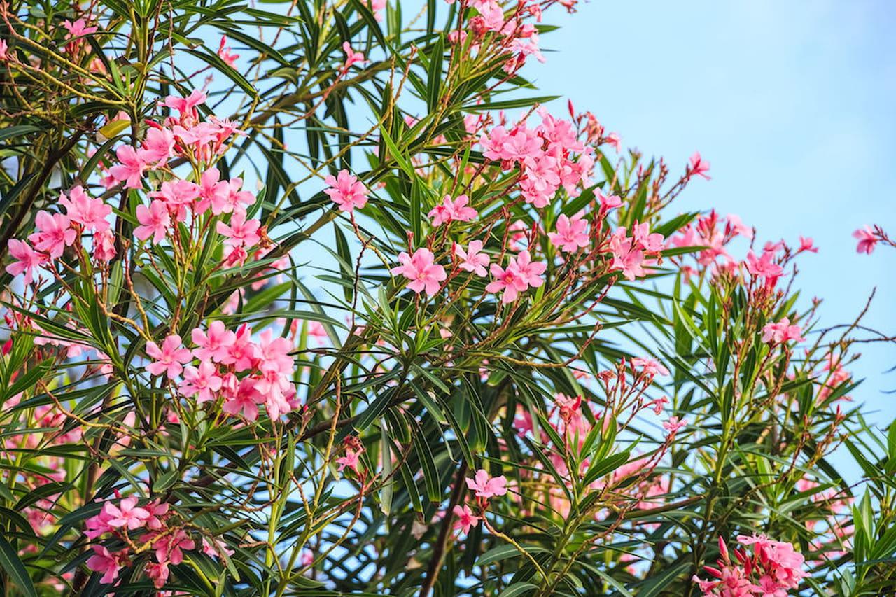 Piante da giardino sempreverdi ornamentali e fiorite - Alberi ornamentali per giardino ...