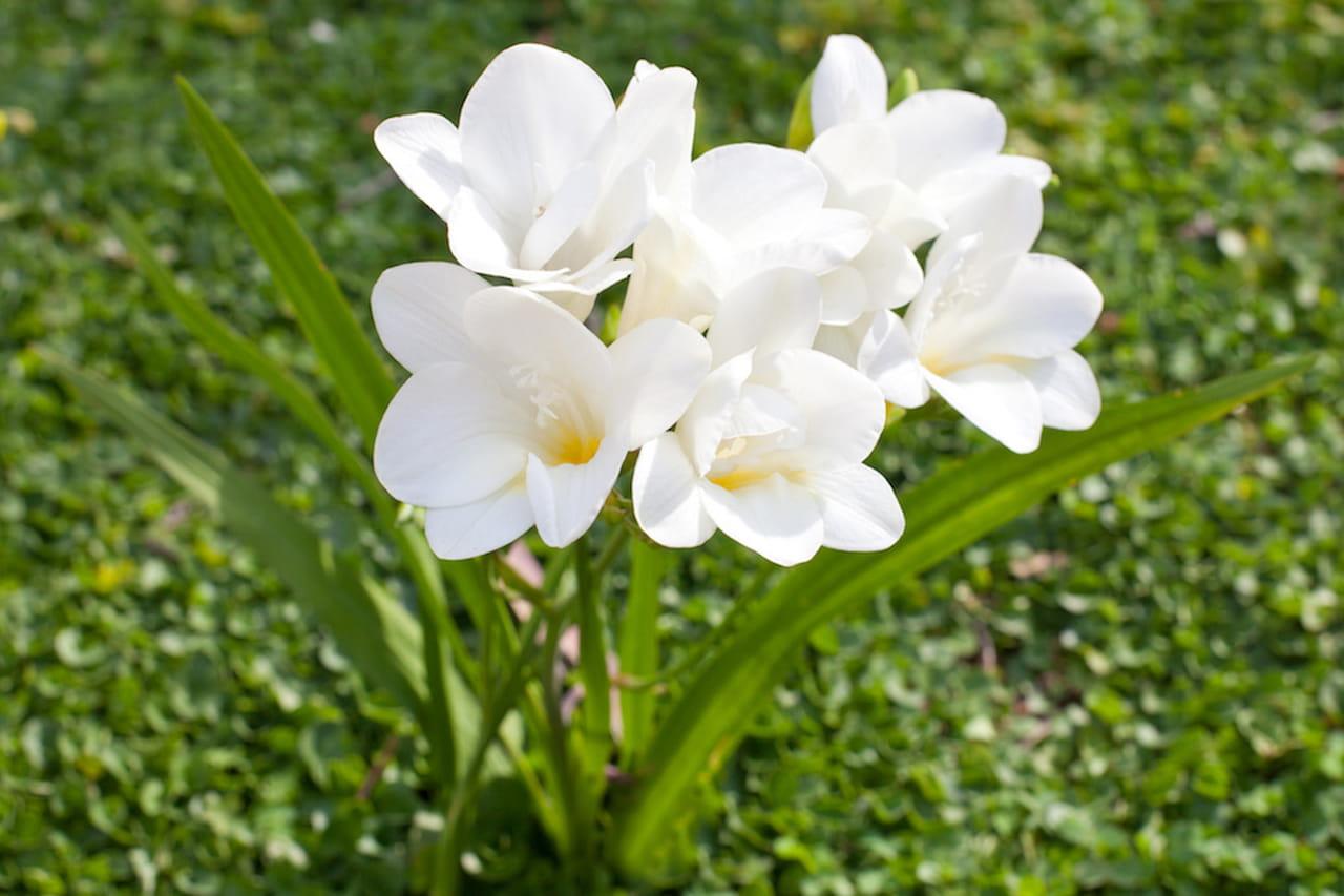 Fiori primaverili a tutto colore e profumo for Fiori bianchi profumati