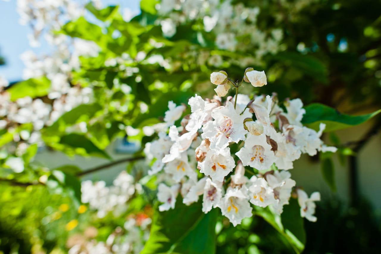 Piante da giardino sempreverdi ornamentali e fiorite for Piante basso fusto da giardino