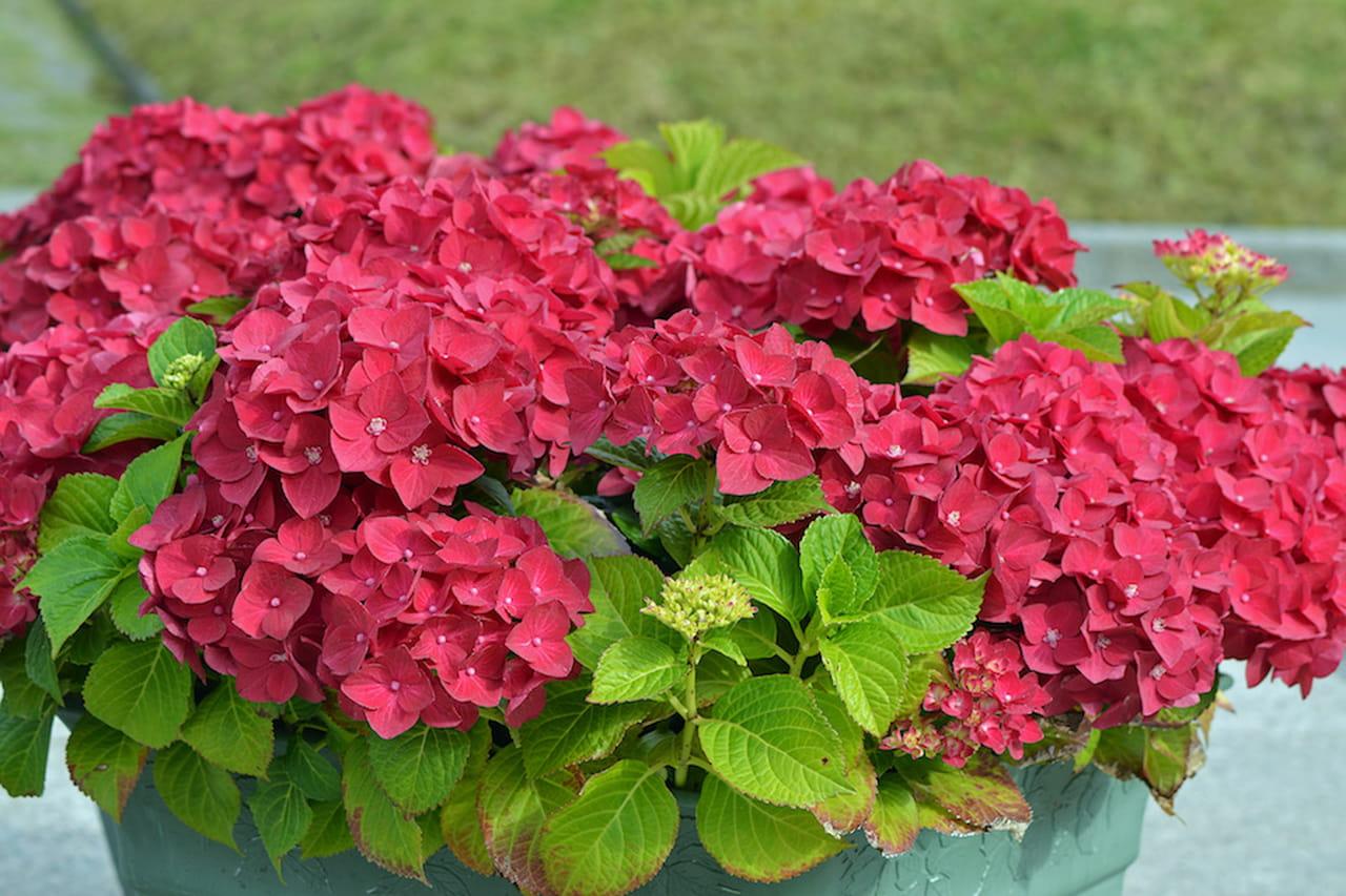 Piante da balcone belle utili e profumate for Piante fiorite perenni da esterno