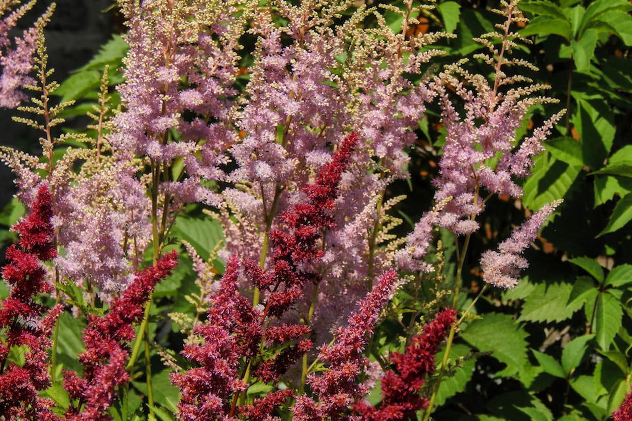 Piante da giardino sempreverdi ornamentali e fiorite for Piante verdi perenni da giardino