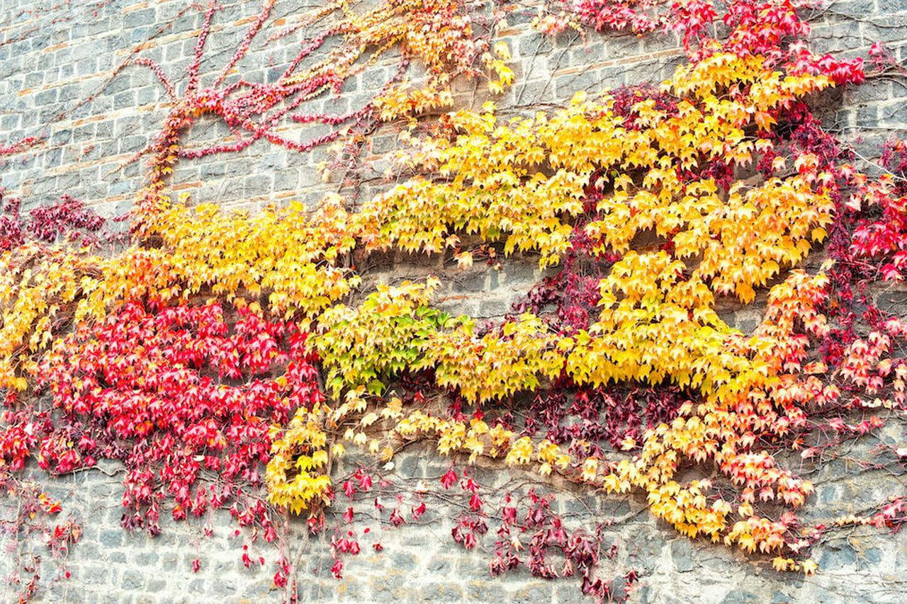 Piante rampicanti facciate pergolati e appartamenti fioriti for Piante rampicanti sempreverdi