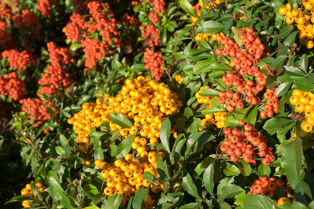 Piante sempreverdi scorci rigogliosi tutto l 39 anno for Pianta ornamentale con fiori a grappolo profumatissimi