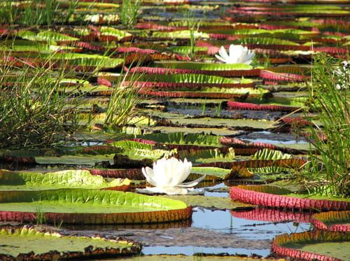 Aimé Bonpland : le grand  botaniste rochelais oublié et dépossédé de ses découvertes