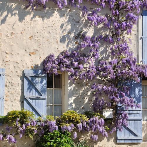 Piante rampicanti facciate pergolati e appartamenti fioriti for Piante rampicanti finte
