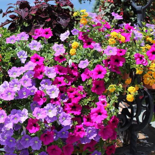 Fiori da balcone per tutti i gusti ed esposizioni - Grossi fiori da giardino ...