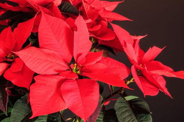 Stella Di Natale In Casa.Stella Di Natale Cura Della Pianta E Del Fiore